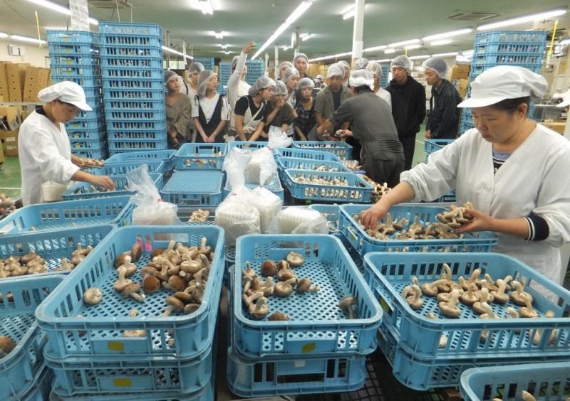 菌床シイタケの一貫生産を手掛ける「岩泉きのこ産業」