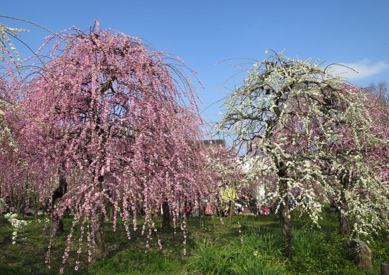 咲き誇る名古屋市農業センターのしだれ梅の花