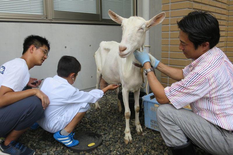 ヤギの心拍数を測る小学生