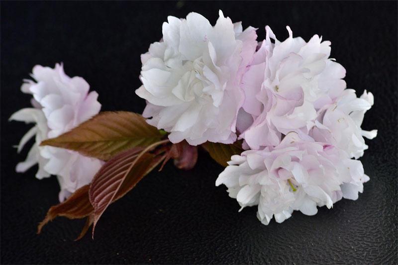 白色に近い淡紅色の花びらが美しいオワリガサネ(2014年4月撮影)