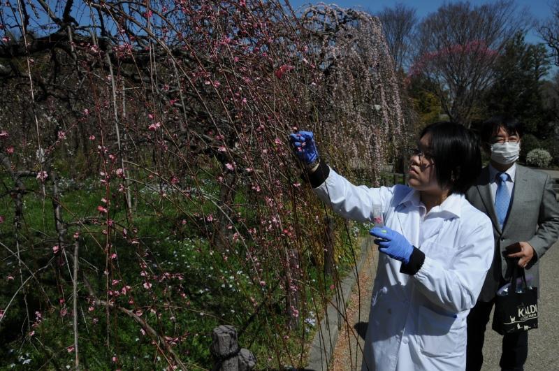 しだれ梅の花を摘む望月さん。右は加藤教授