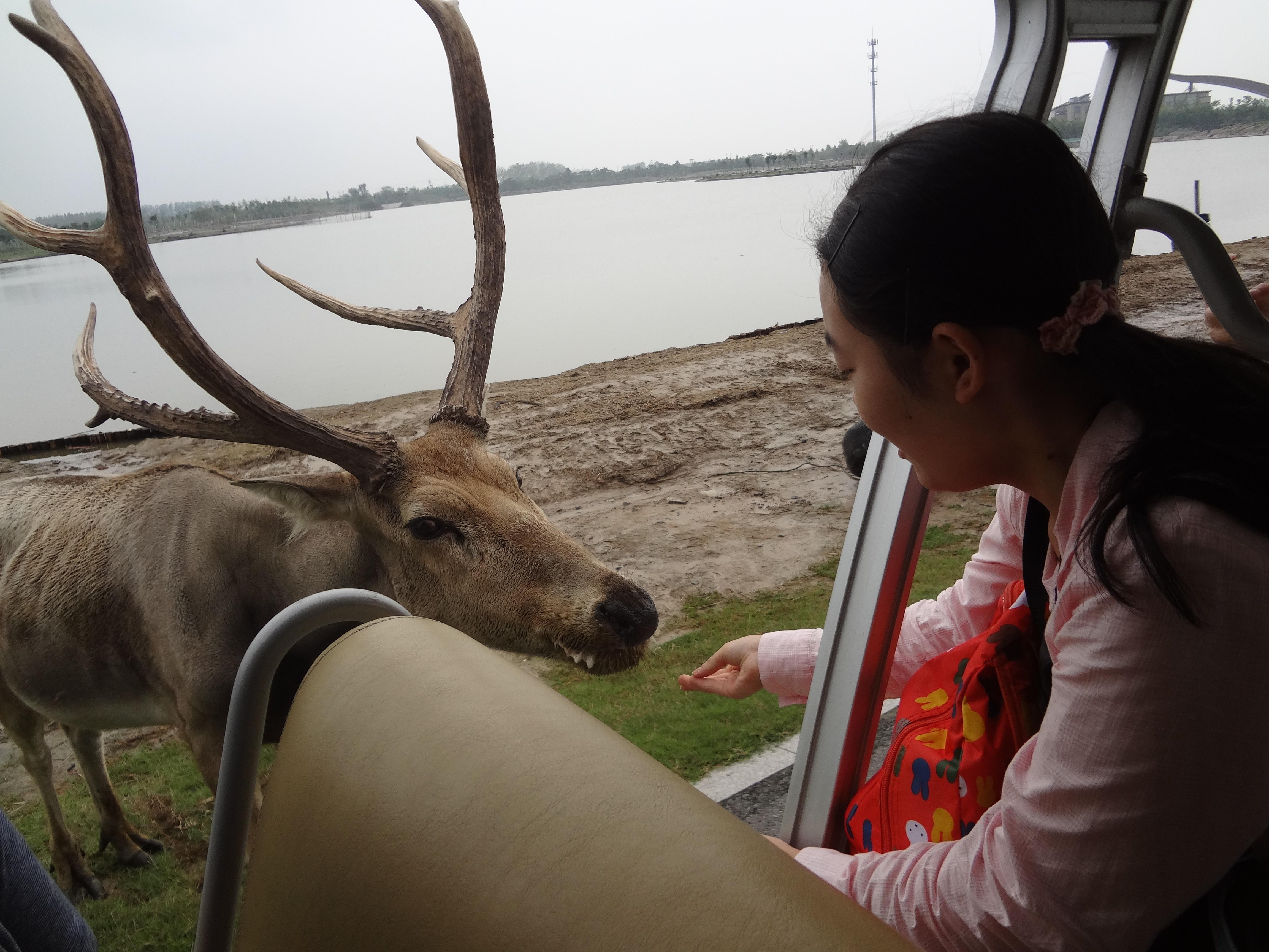 野生絶滅種とされるシフゾウと=塩城自然保護区で